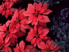 Euphorbia pulcherrima 'V-14 Pink'