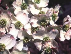 Cornus florida ~Barton~ (01) Bloom