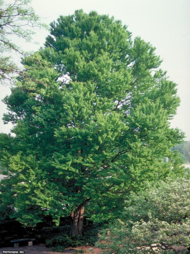 Cercidiphyllum japonicum  (04) Habit
