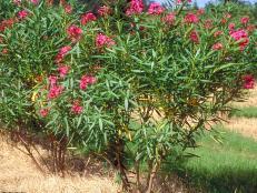 Nerium oleander ~Calypso~ (01) Habit