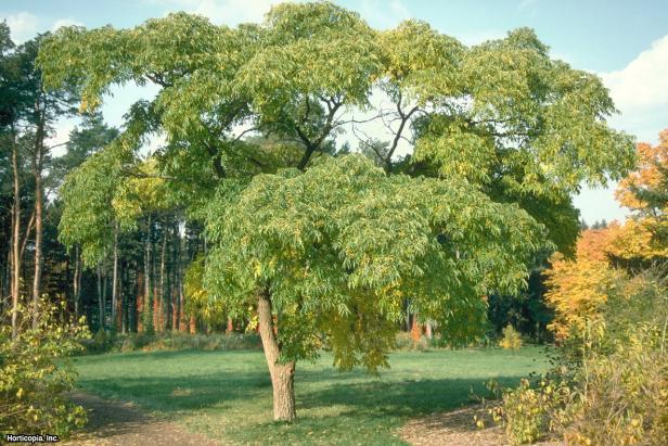 Phellodendron amurense  (03) Habit