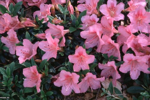 Rhododendron (subgenus Azalea) ~Pink Pancake~ (01) Bloom