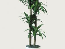 Dracaena fragrans ~Massangeana~ (07) Habit