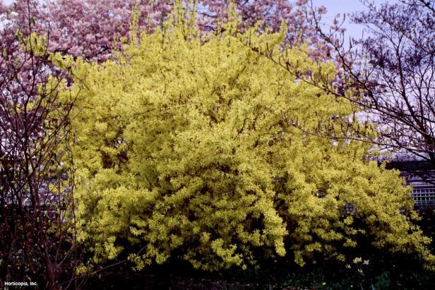Forsythia x intermedia ~Spring Glory~ (02) Spring