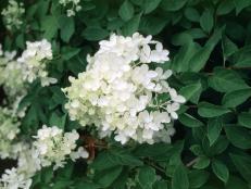 Hydrangea paniculata ~Grandiflora~ (04) Bloom