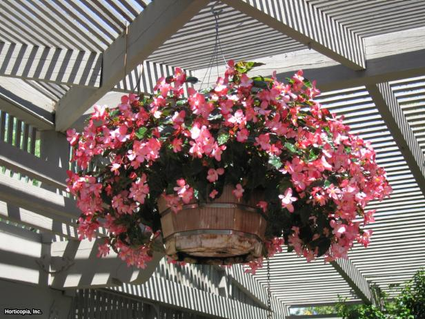 Begonia semperflorens-cultorum hybrids  (12) Habit