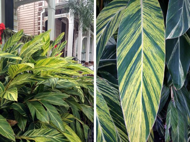 variegated canna