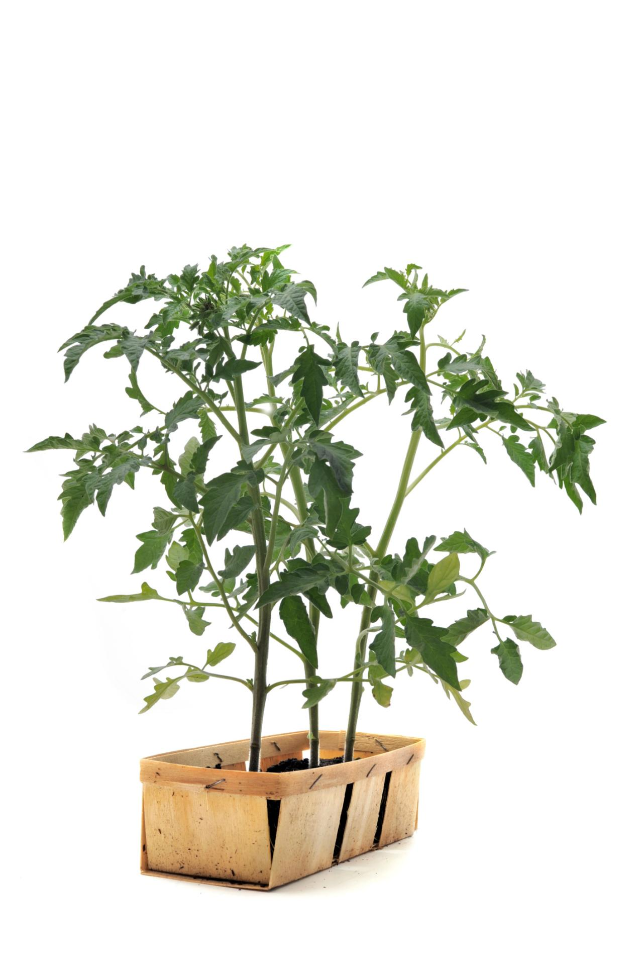 Growing Tomatoes Indoors HGTV