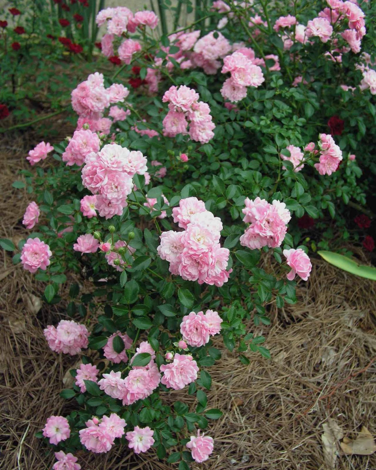 a variety of heirloom shrub roses provide an alternative to the ubiquitous knock out rose hgtv. Black Bedroom Furniture Sets. Home Design Ideas