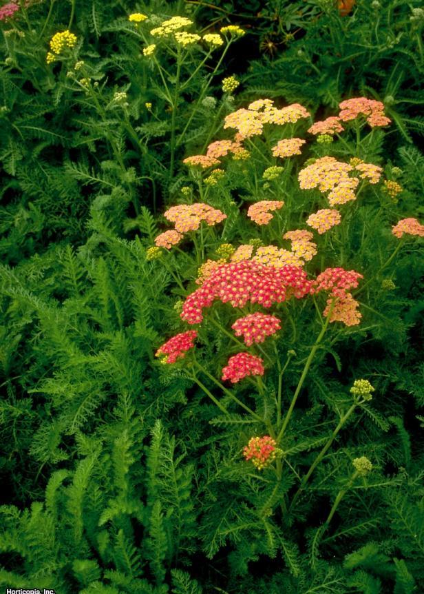 Achillea millefolium ~Summer Pastels~ (02) Bloomleaf