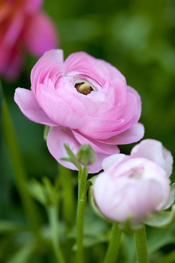 Ranunculus asiaticus 'Pink'