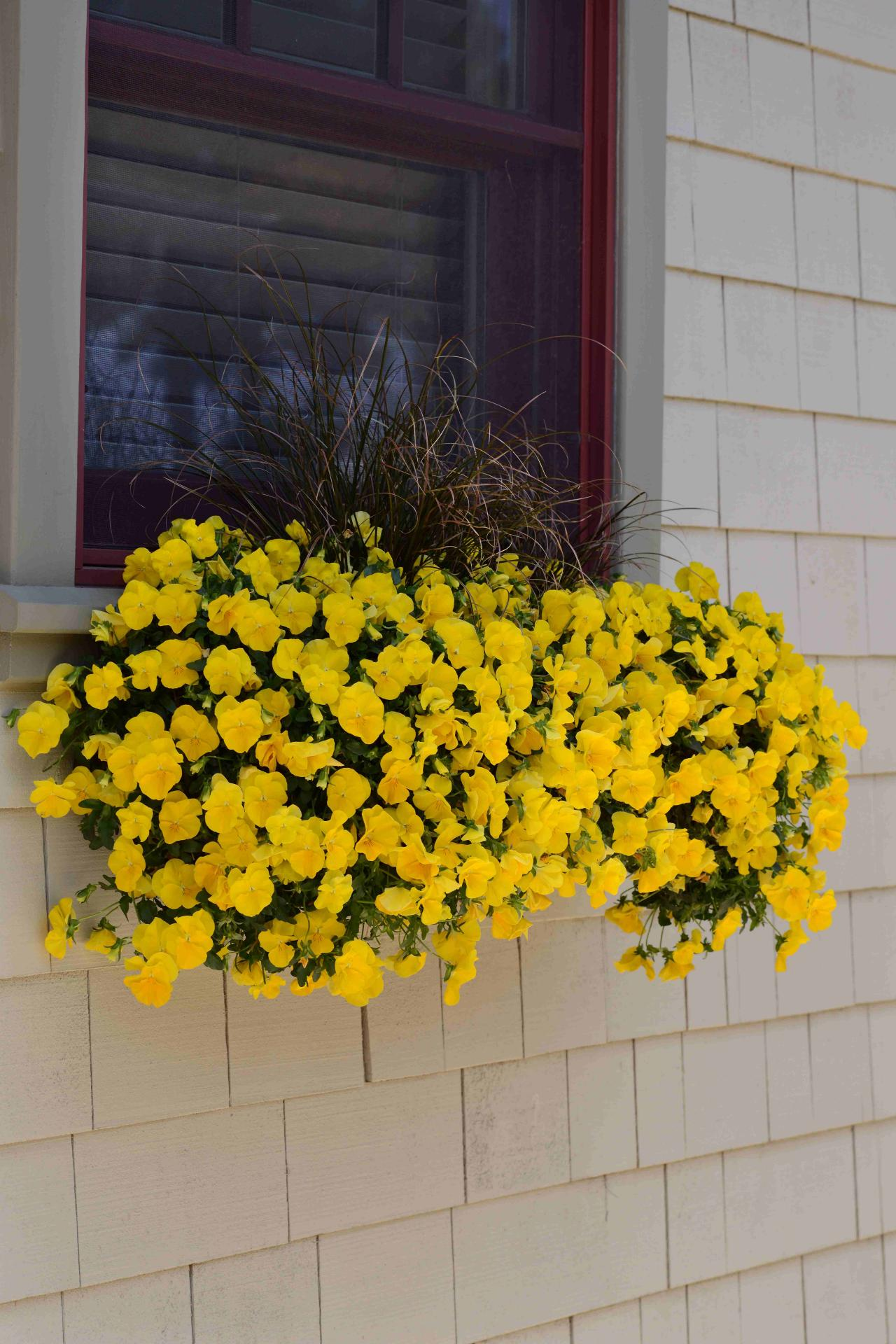 winter pansies hgtv