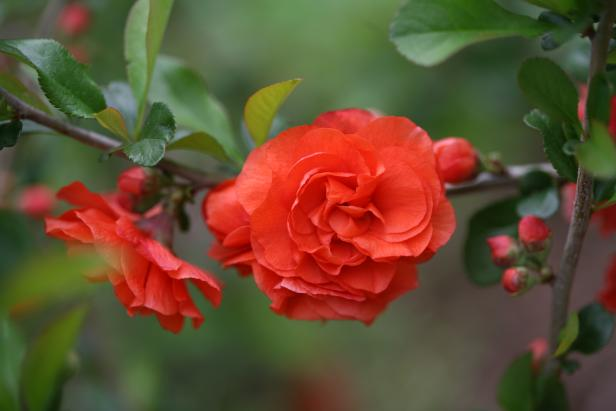 Double Take 'Orange Storm' Quince