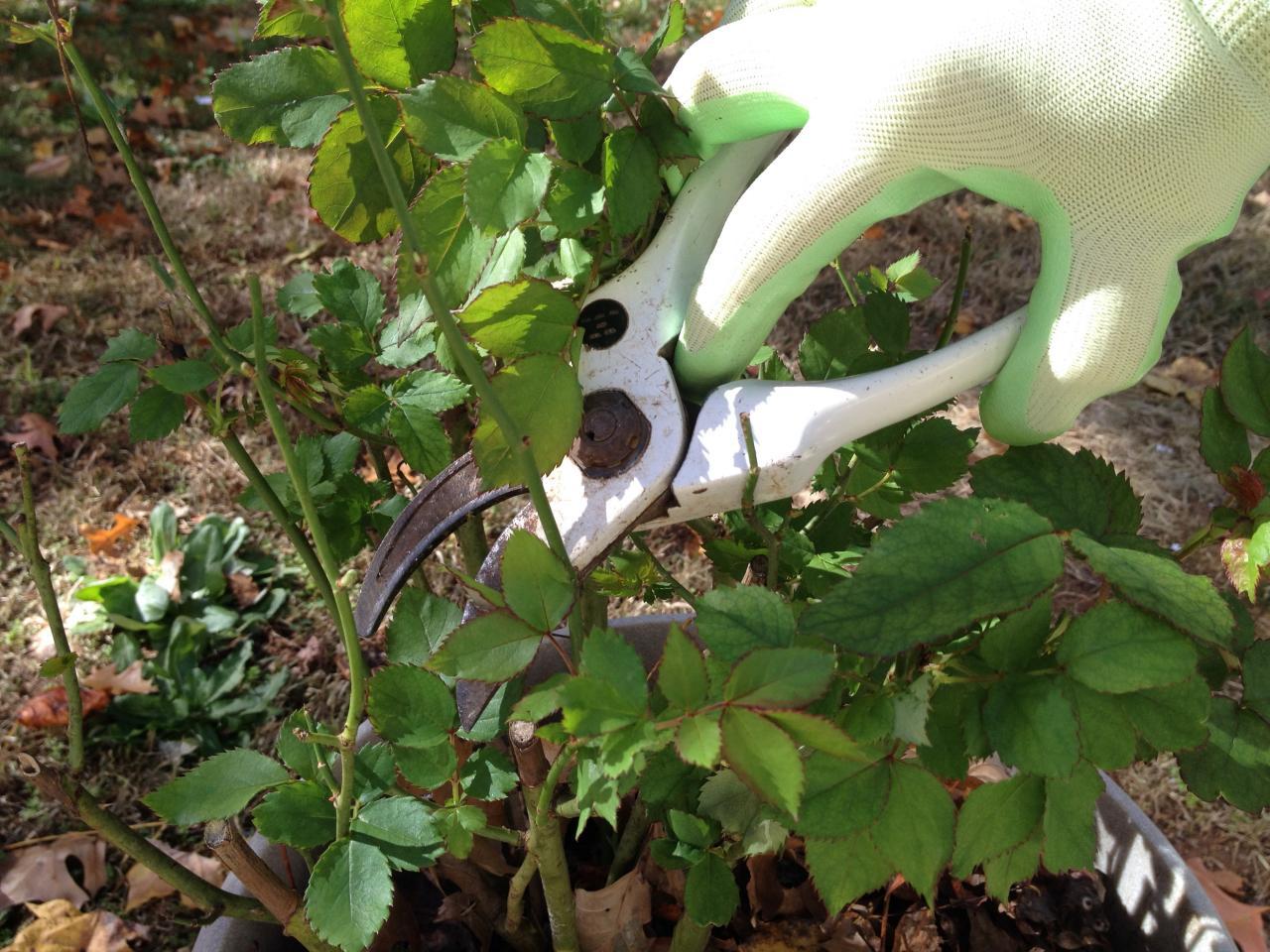 pruning roses during winter hgtv