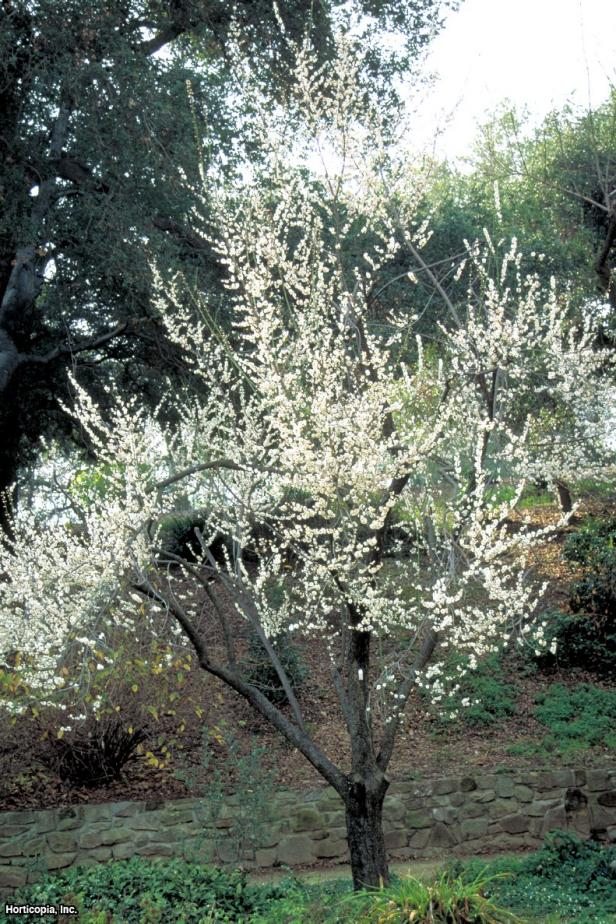 Prunus mume  (01) Spring
