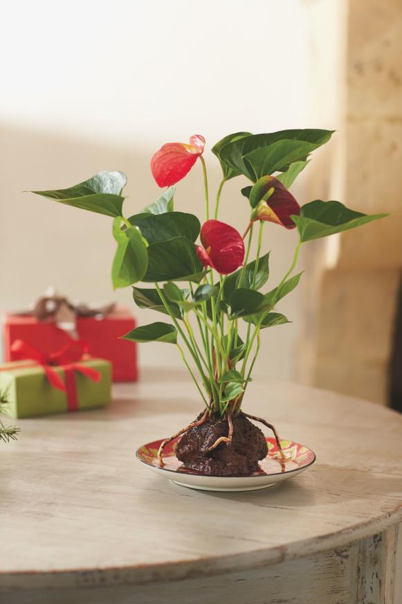 Anthurium Volcano Plant