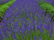 Lavender 'Phenomenal,' courtesy of Burpee