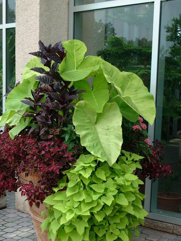 Elephant's ears add a dramatic element to container gardens.
