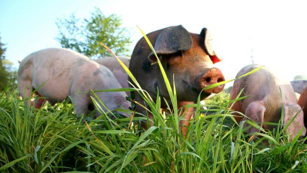 Free-Range Pigs