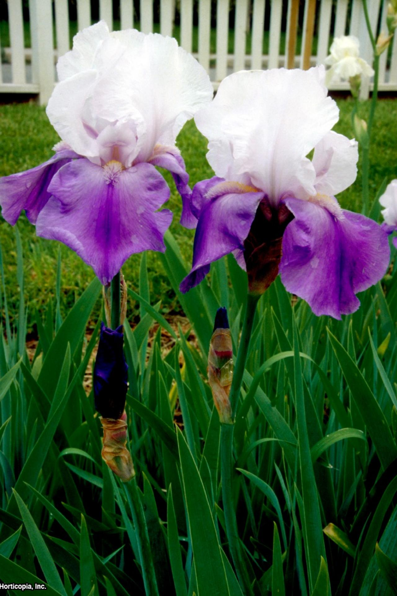Bearded iris hgtv - Iris germanica ...