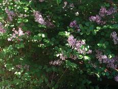 Our lilac bush.