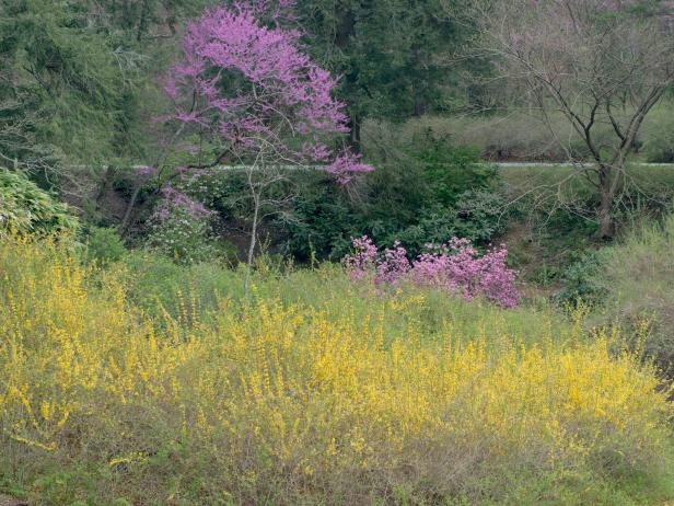 Yellow Forsythia and Pinkish-Purple Redbuds