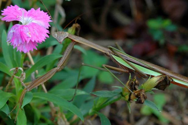 Praying Mantis waiting patiently in the Sweet William