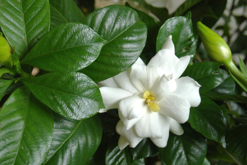 How To Kill A Gardenia Hgtv