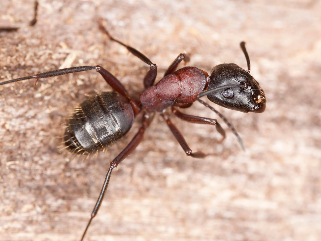 Carpenter Ants. Ways to Send Carpenter Ants on the Run   HGTV