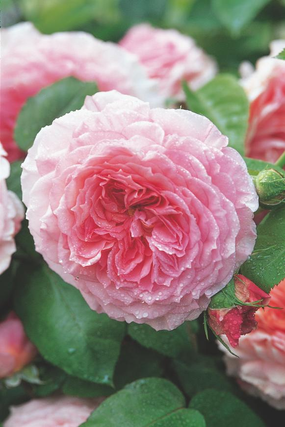 David Austin pink rose 'James Galway' (Auscrytal)