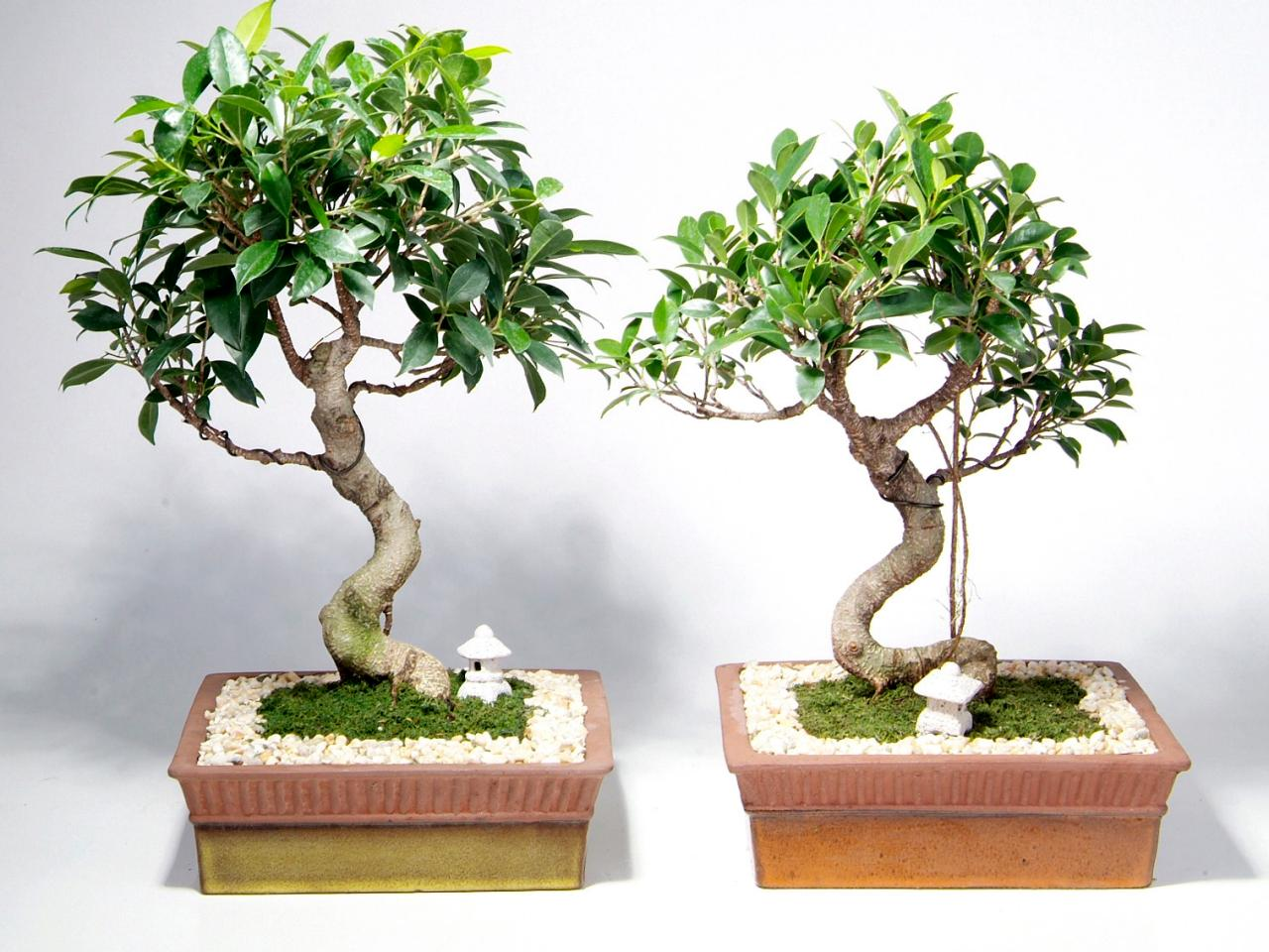 How To Care For Bonsai Trees HGTV