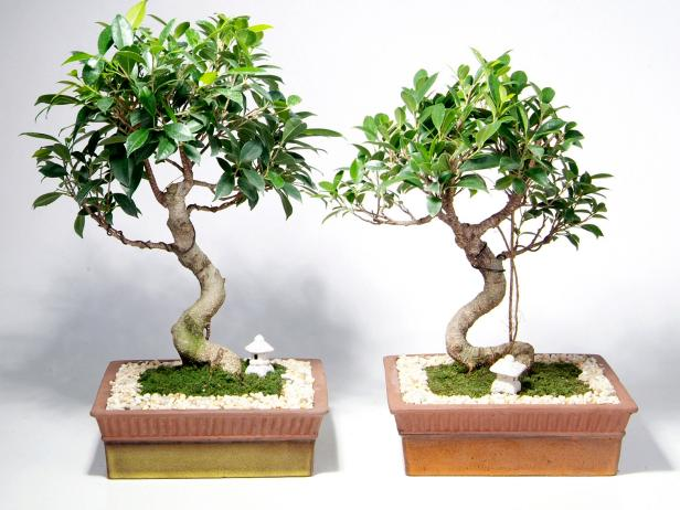 how to care for bonsai trees hgtv. Black Bedroom Furniture Sets. Home Design Ideas