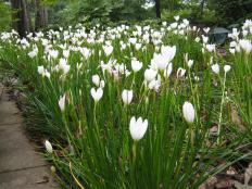 rain lilies.JPG