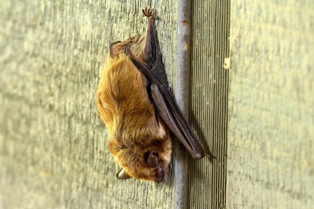 "Despite a ""creepy"" reputation, bats can help control pest populations in backyard gardens."