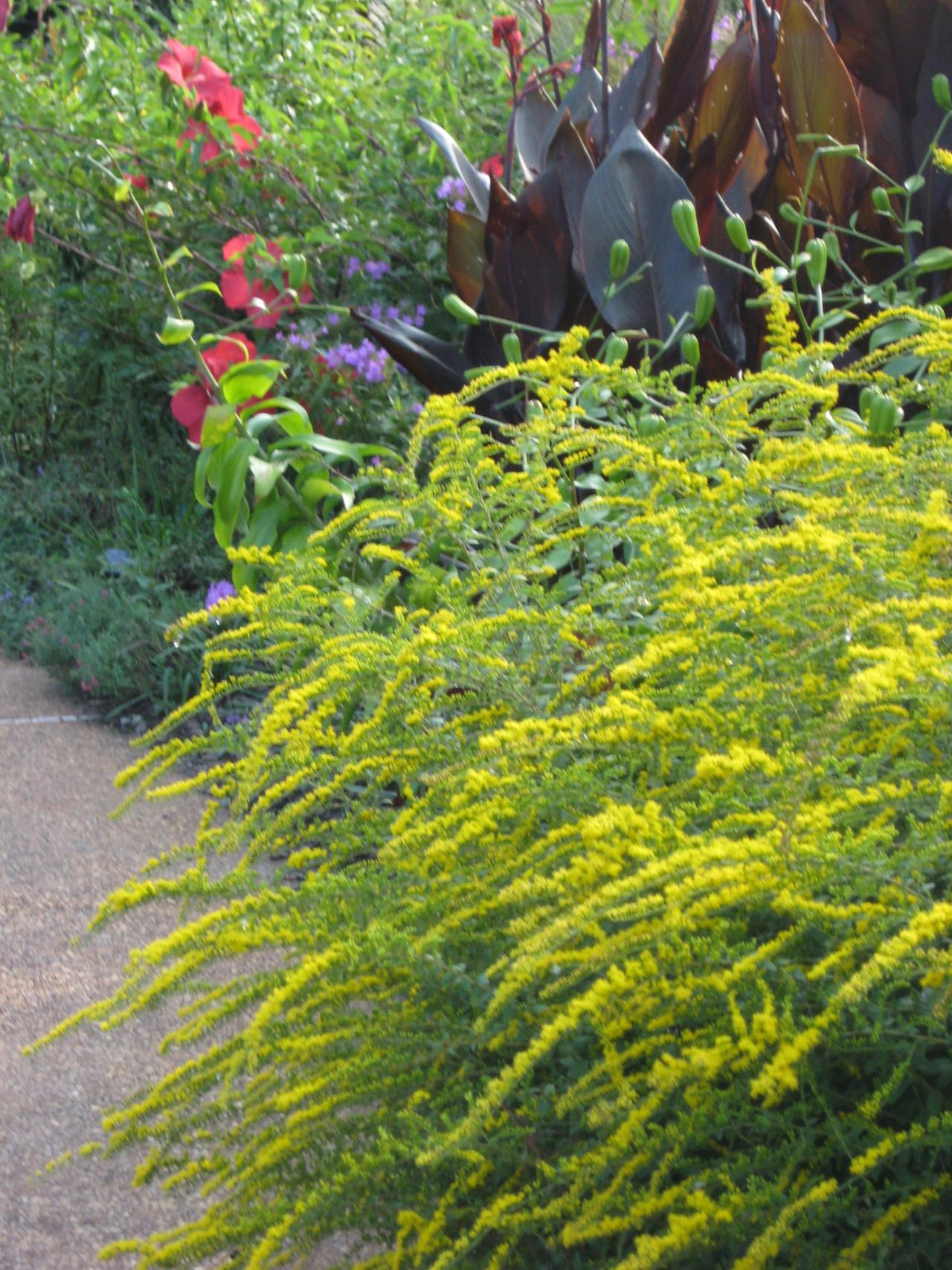 Planting Goldenrod In The Garden: 'Fireworks' Goldenrod Can Add Great Color To Your Garden