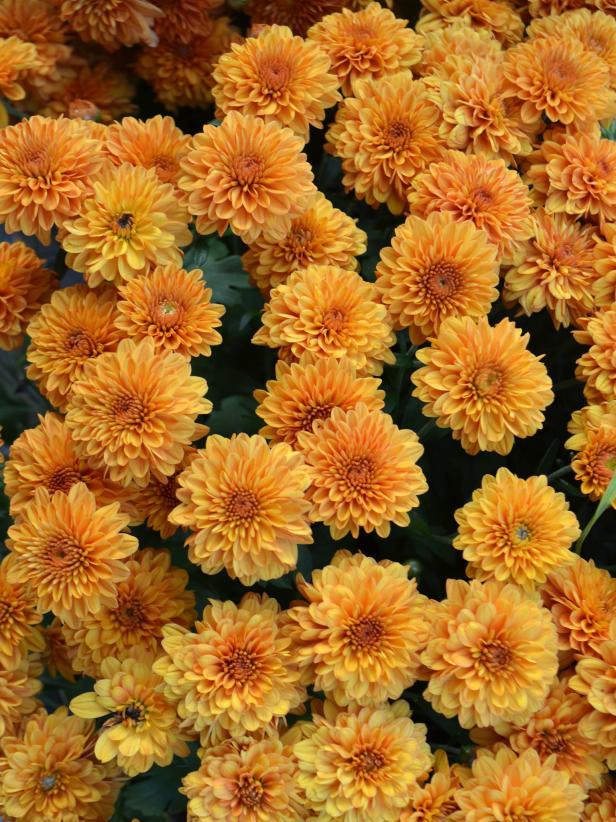 Orange Mums
