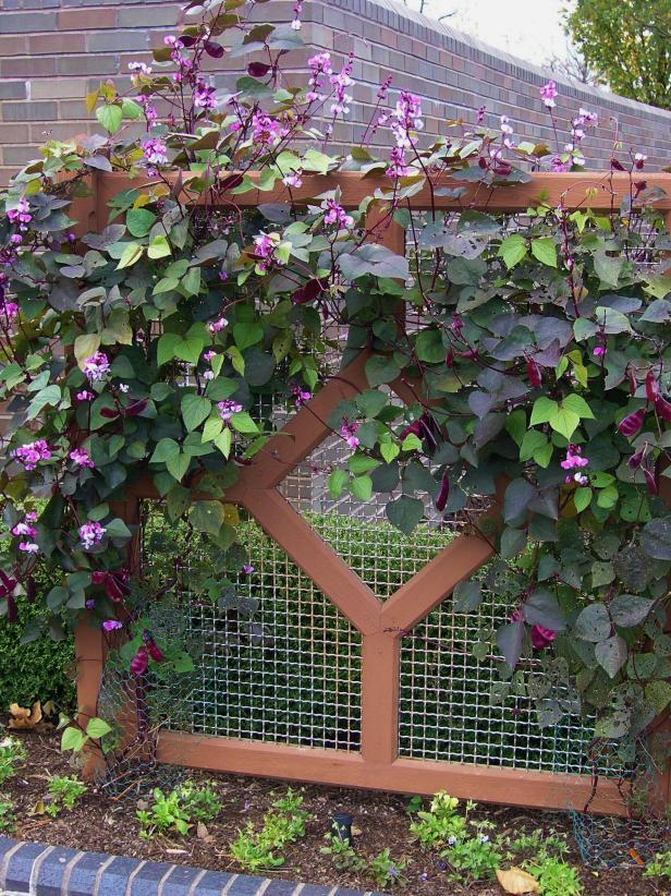 Fast=growing hyacinth bean on a baffle wall