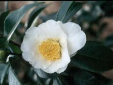 White camellia with center