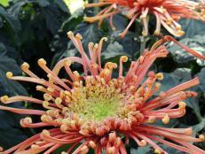 Longwoods Garden spider mum