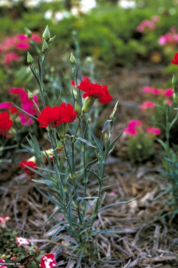 Dianthus caryophyllus  (02) Habit