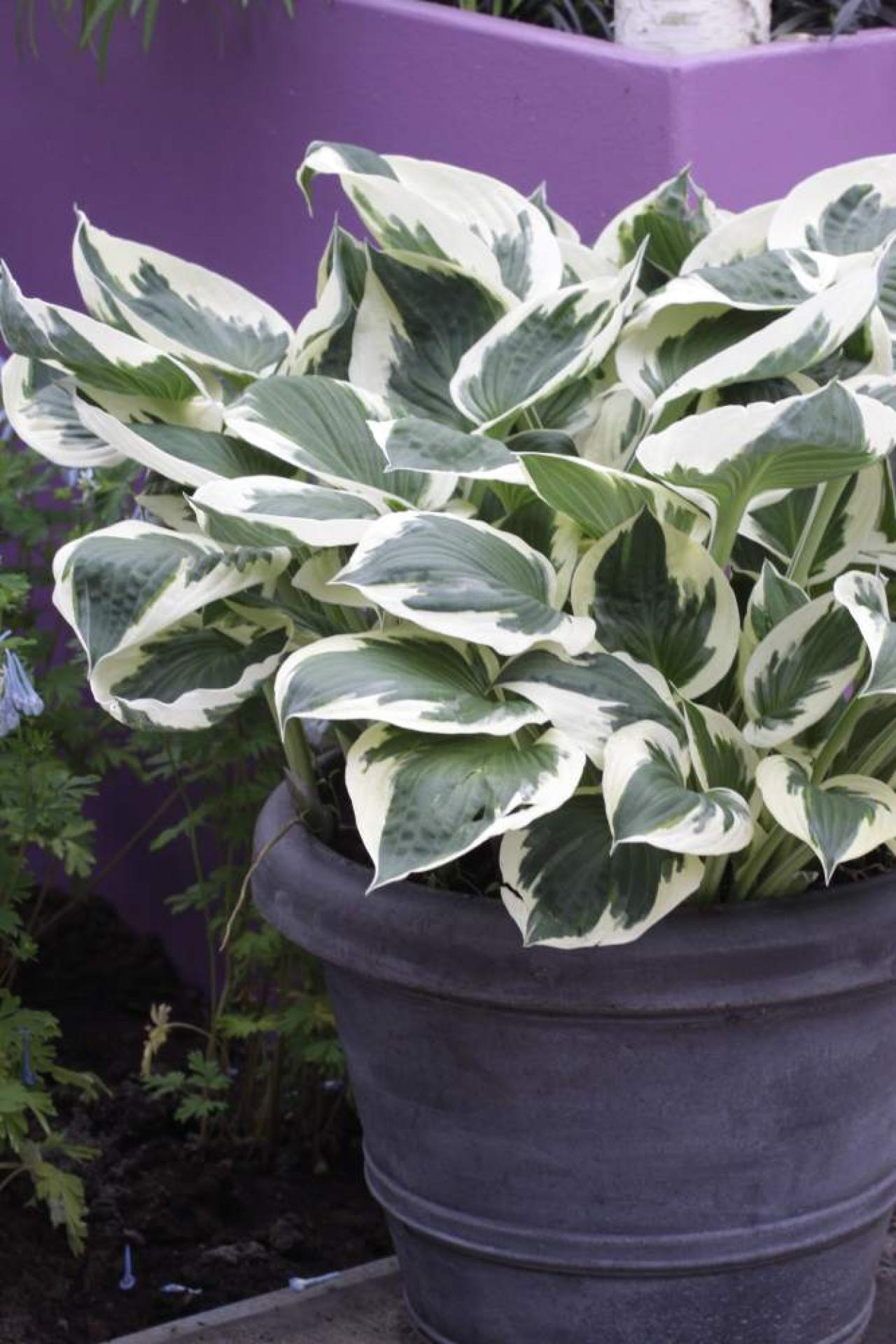 When can you transplant hostas?