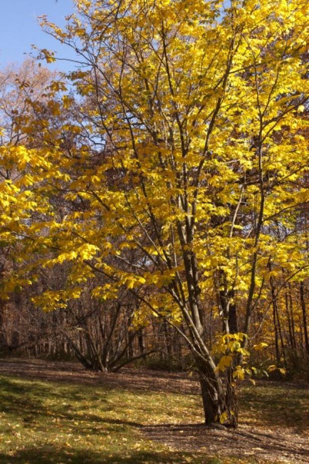 American Yellowwood 'Cladrastis kentukea'