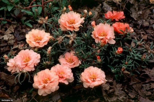 Portulaca grandiflora ~Tropical Fruit~ (01) Bloom