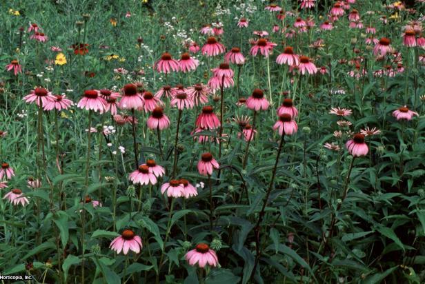 Echinacea purpurea  (10) Habit