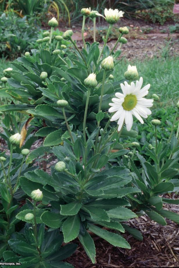 Nipponanthemum nipponicum  (02) Habit