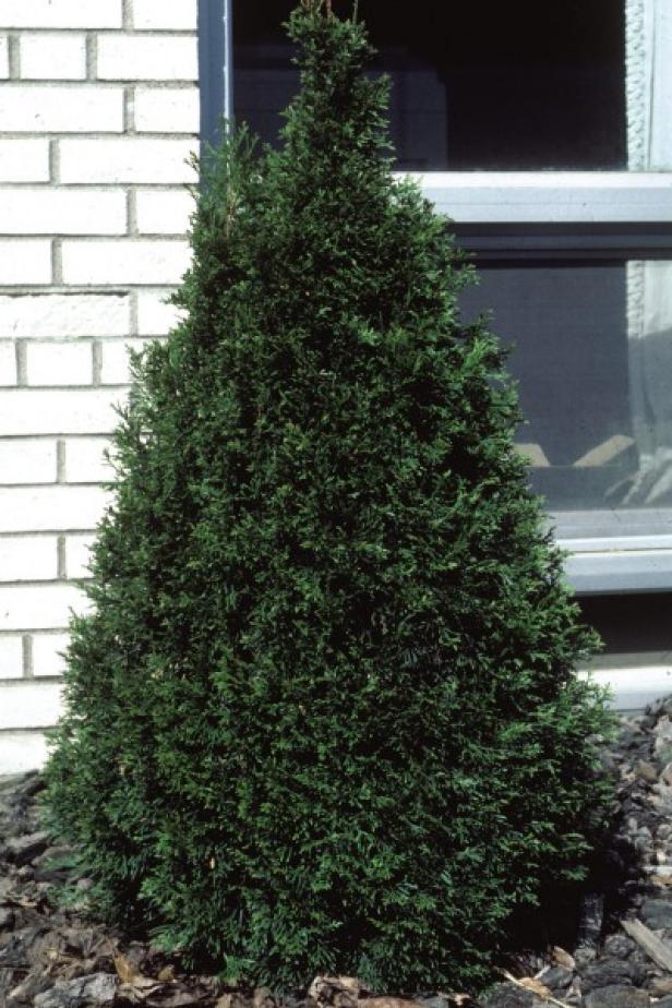 Thujaocc Emerald Arborvitae