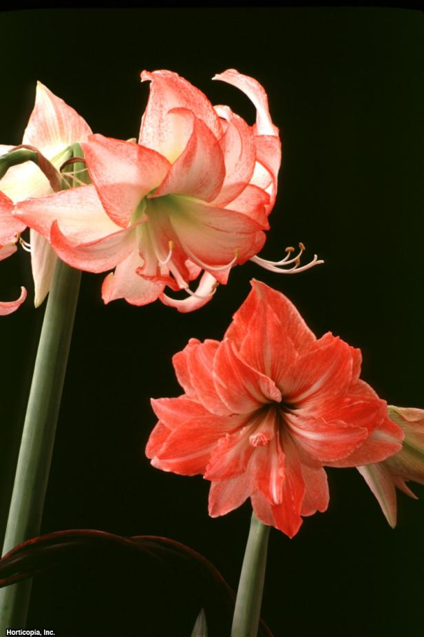 Hippeastrum x johnsonii  (02) Bloom
