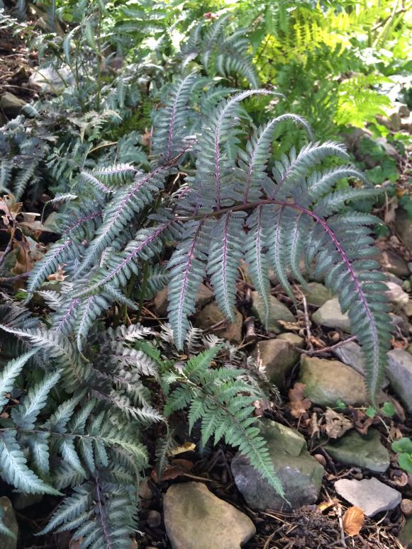 Silver tinged Japanese Painted Fern