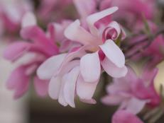 'Leonard Messel' Kobushi Magnolia (Magnolia x loebneri 'Leonard Messel')