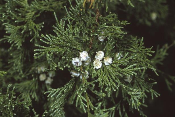 The Atlantic White Cedar Hgtv